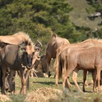 golden wildebeest herd