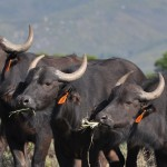 three african buffalo calves